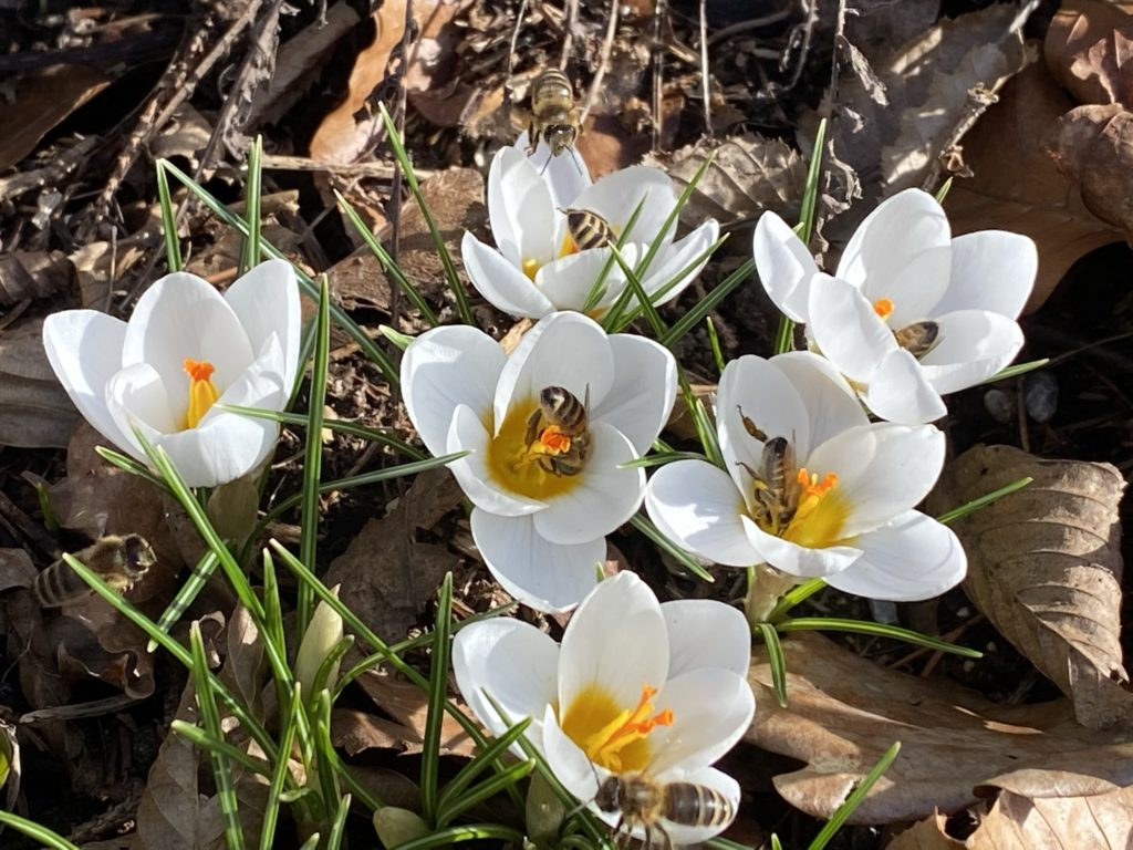 Crocus als Bienenweide