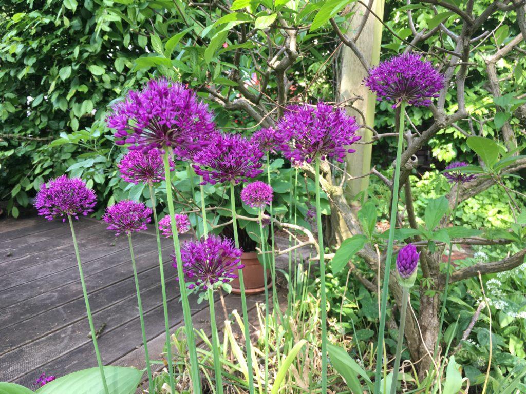 Zierlauch Allium aflatunense