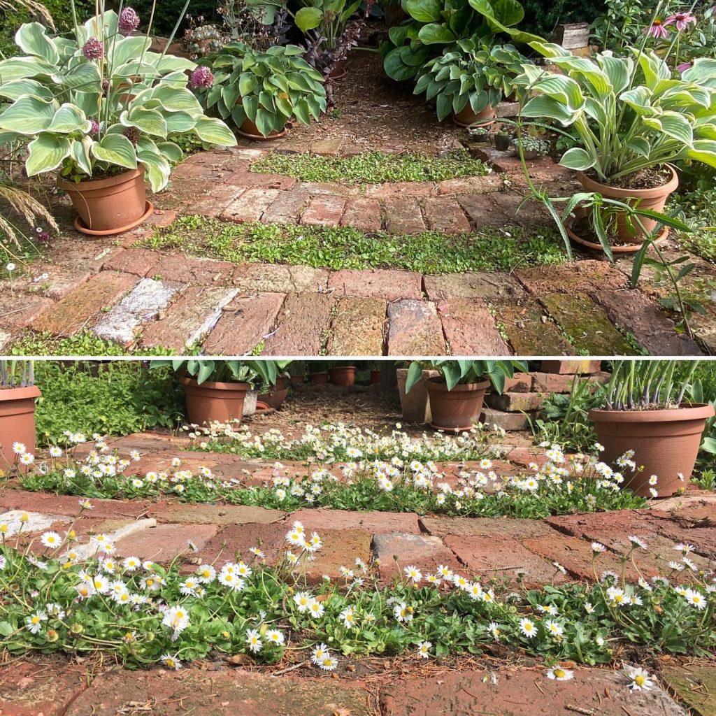 Gänseblümchen als Bodendecker